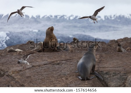 Sea lions in the national park Tierra del Fuego, Patagonia, Arge - stock photo