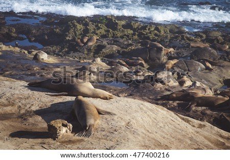 Sea Lions Laying in the Sun