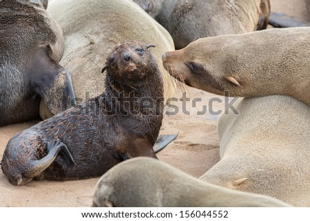 Sea lions mom and baby - stock photo