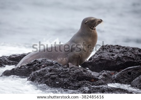 sea lions near the shore , San Cristobal, Galapagos Islands - stock photo