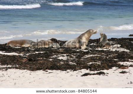 sea lions on a beach, kangaroo island, adelaid, australia - stock photo