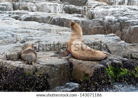 Sea lions on rock near Pucusana, Peru.