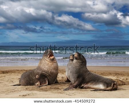Sea lions on the beach, Cannibal Bay, New Zealand - stock photo