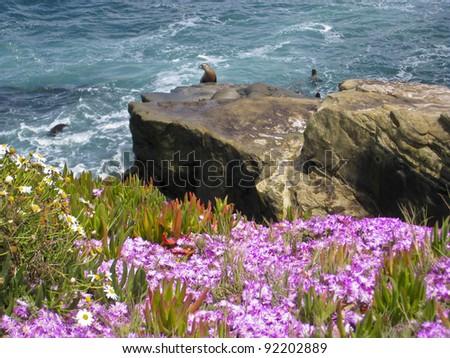 Sea Lions  on the Pacific Ocean Coast - La Jolla, San Diego, California - stock photo