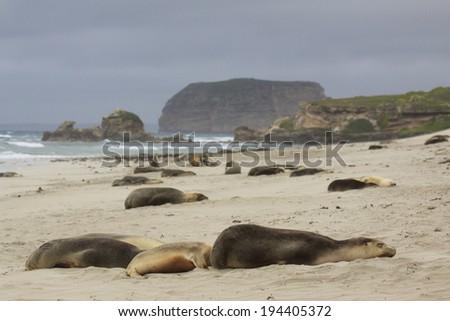 Sea lions sleeping on Australian beach - stock photo