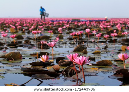 Sea of pink lotus (unseen in Thailand)  - stock photo
