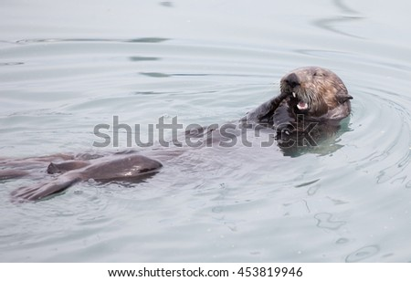 Sea Otter eating a snack while swimming and floating on his back