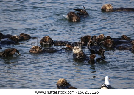 Sea otter looking up - stock photo