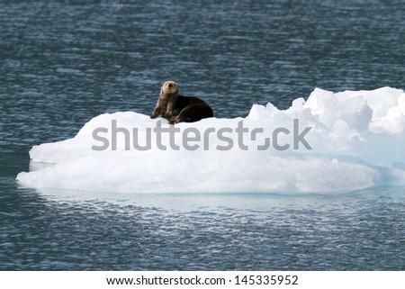 sea otter on ice berg - stock photo