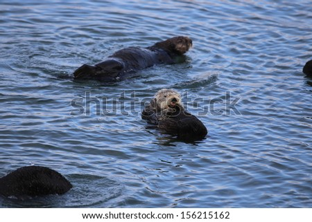 Sea Otter sticking out its tongue - stock photo