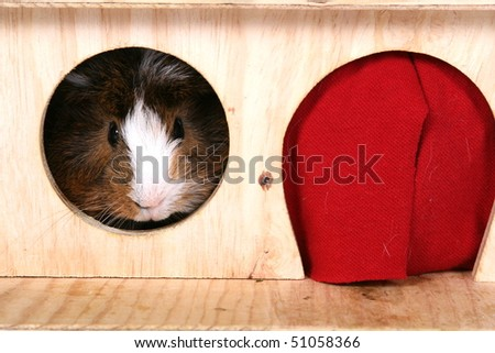 sea pig in the little house - stock photo