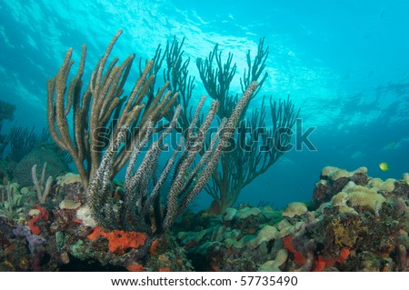 Sea Rods and Sea Fans on a coral ledge in Broward County, Florida - stock photo