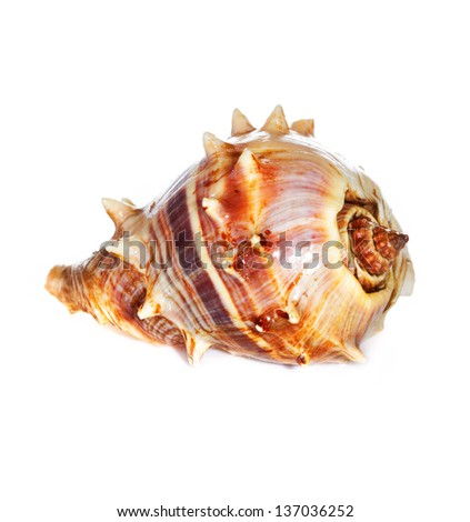 sea shell  macro isolated on white  background closeup, - stock photo