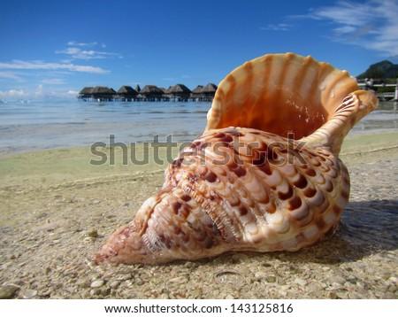 Sea shell on a white sand beach,Tahiti island - stock photo