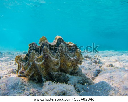 Sea shell Red Sea underwater snorkelling  - stock photo