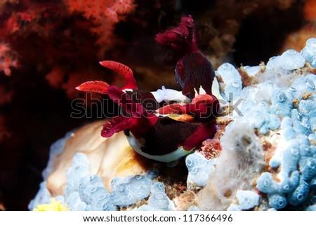 sea slug (copulation) - stock photo