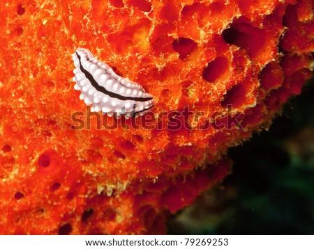 sea slug from maldivian reef - stock photo