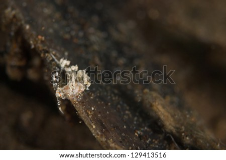 Sea slug, Nudibranch (Cratena simba) - stock photo