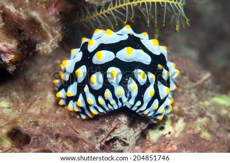 Sea Slug Phyllidia varicosa - stock photo
