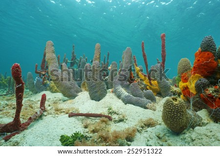 Sea sponges underwater mostly branching tube sponge, on sandy seabed of the Caribbean sea - stock photo