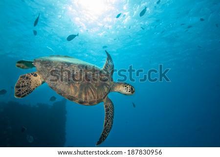 Sea Turtle Against Blue Underwater Background - stock photo