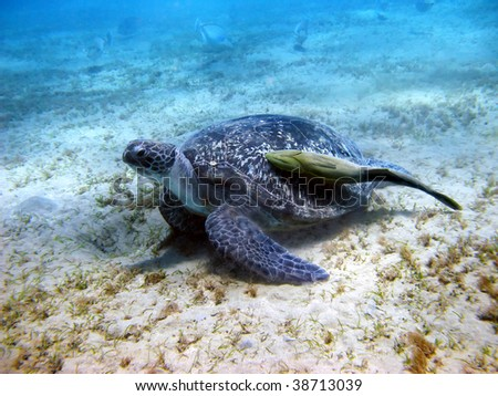 Sea turtle and suckerfish