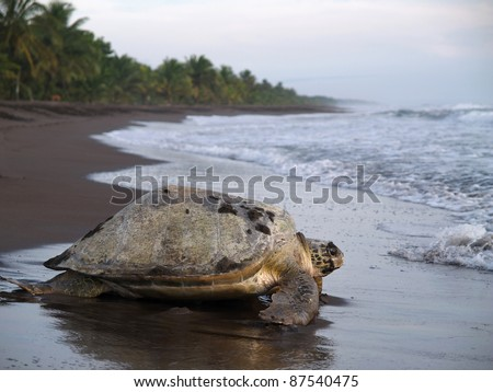 Sea turtle crawling from the beach to the sea in Tortuguero National Park, Costa Rica - stock photo