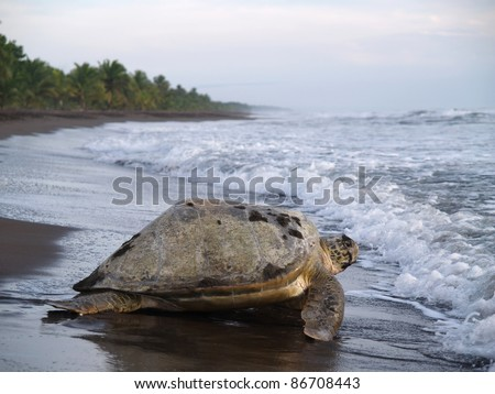 Sea turtle diggin in the sand to put her eggs on August 2010, in Tortuguero National Park, Costa Rica - stock photo