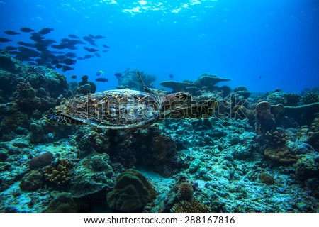 Sea turtle floating over coral reef. An underwater world with water surface and silhouettes of fish discovered.