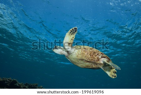 Sea Turtle from Below - stock photo