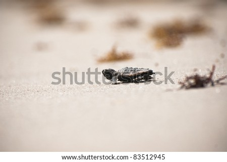 Sea Turtle Hatchling - stock photo