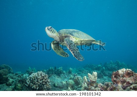Sea Turtle Hovering in the Blue Ocean - stock photo
