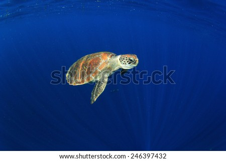 Sea Turtle in blue water  - stock photo
