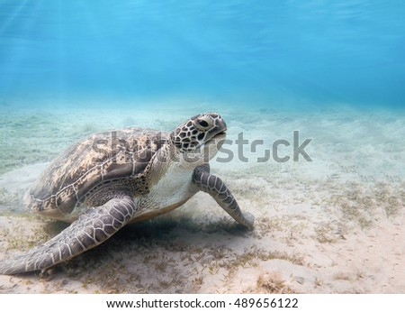 Sea turtle in blue water. Green sea turtle close photo. Lovely sea turtle closeup. Green turtle swimming in the sea. Snorkeling with turtle.Marine Life in the Red Sea.