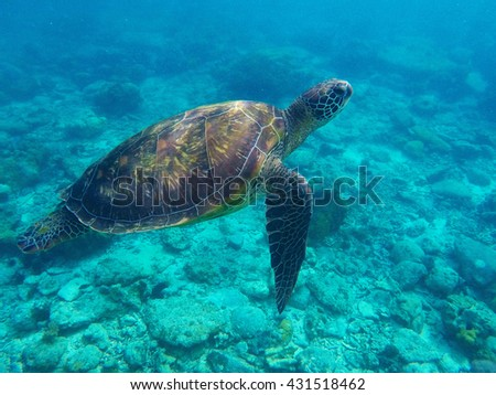 Sea turtle in blue water over coral reef, Philippines, Apo island. Olive ridley turtle in blue sea, sea turtle picture, sea turtle image, marine life, big turtle swimming in ocean, green sea turtle - stock photo