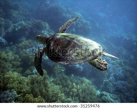 Sea Turtle in Great Barrier Reef - Australia - stock photo