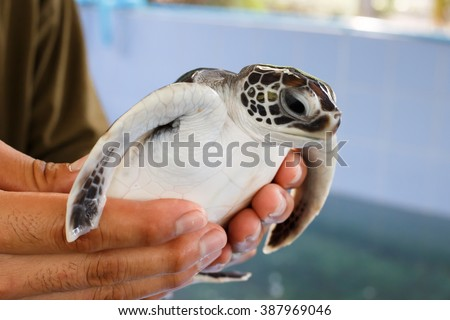 sea turtle in humans hands at Sea Turtles Conservation Research Project in thailand