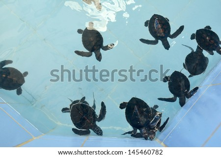 Sea Turtle in Nursery ponds - stock photo