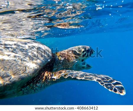 sea turtle in red sea - stock photo