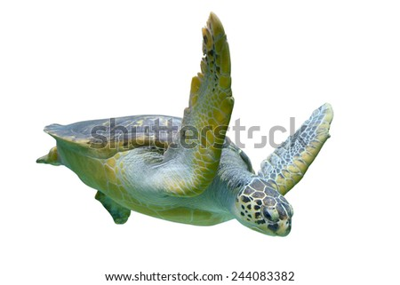 Sea turtle isolated on white background - stock photo