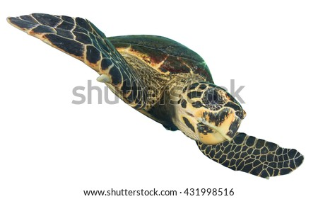 Sea Turtle isolated on white background (Hawksbill Turtle - Eretmochelys imbricata) - stock photo