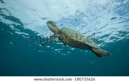 Sea turtle near the ocean surface - stock photo