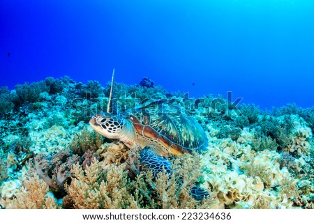 Sea Turtle on a tropical coral reef - stock photo