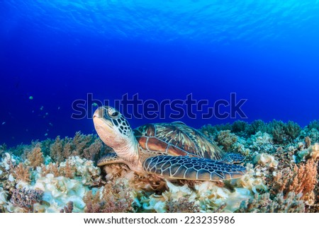 Sea turtle on a tropical coral reef with sunbeams above - stock photo