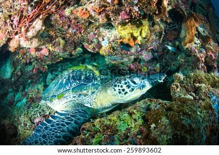 sea turtle on coral bunaken sulawesi indonesia mydas chelonia underwater photo - stock photo