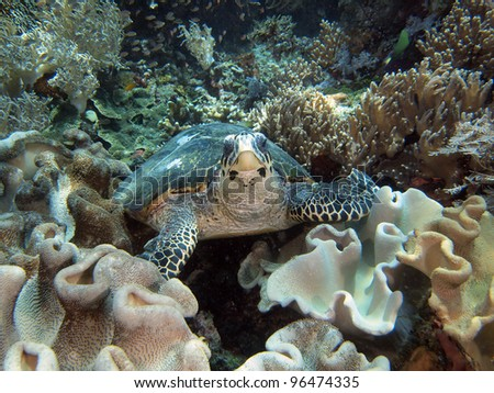 Sea turtle on coral reef, Indo-pacific ocean.