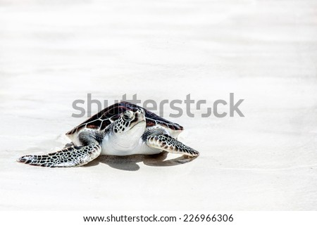 Sea turtle on the white sand beach - stock photo