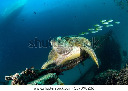 Sea turtle resting near dive center in Mabul, Sipadan, Malaysia
