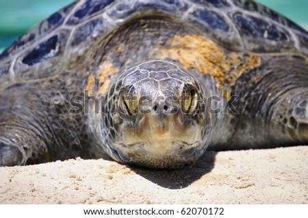 Sea turtle sleeping in the sun - stock photo