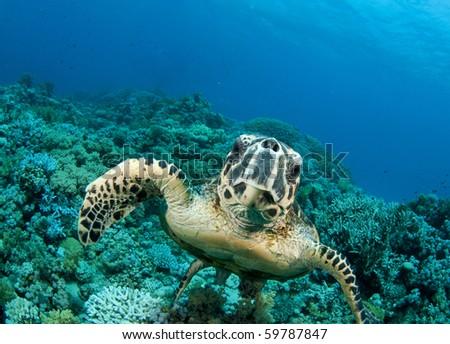 Sea Turtle smimms into camera - stock photo